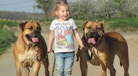 Bocah Malang Tewas Diserang Pitbull: Inggris Melarang Anjing ini Dipelihara Sejak 1991