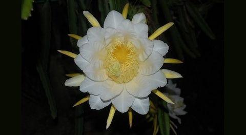 10 Bunga Wangi Yang Mekar Malam Hari
